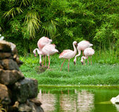 Beautiful pink flamingos Stock Photography