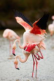 Beautiful pink flamingos (Phoenicopterus roseus) Royalty Free Stock Photo