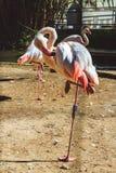 Beautiful Pink flamingos in Limassol Zoo, Cyprus stock image