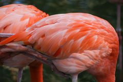 Beautiful pink flamingos in the zoo Royalty Free Stock Photo