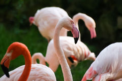 Beautiful pink flamingos in the zoo Stock Image