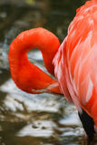 Beautiful pink flamingos in the zoo Stock Images