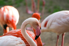Beautiful pink flamingos in the zoo Royalty Free Stock Images