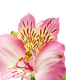 Beautiful pink flower. Isolated on white Stock Image