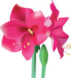Beautiful pink flower amaryllis. Vector illustration vector illustration