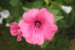 Beautiful pink flower with beauty background in a dacha garden Royalty Free Stock Image