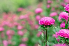 Beautiful pink flower is blooming royalty free stock photo