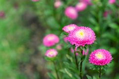 Beautiful pink flower is blooming stock image