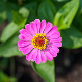 The beautiful pink flower blooming Stock Photography