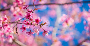 Beautiful pink flower blossom. With blue sky Stock Photo