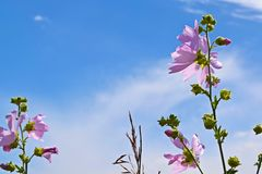 Beautiful pink flower on blue sky background. Mallow forest,pink royalty free stock images