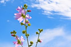 Beautiful pink flower on blue sky background. Mallow forest,pink stock photo