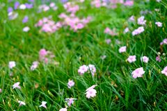 Beautiful pink flower blur background with copy space stock image