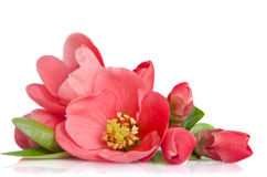 Beautiful pink flower with buds Stock Images