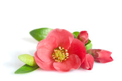 Beautiful pink flower with buds Royalty Free Stock Photo