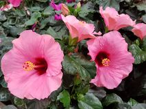Hibiscus Longiflora malvaceae. Beautiful pink flower called hibiskus Royalty Free Stock Images