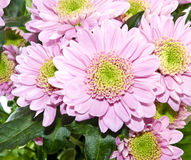 Beautiful pink flower closeup Royalty Free Stock Photography