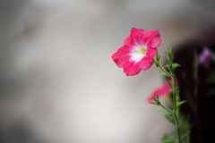 Beautiful pink flower and concrete background. Periwinkle flower. Stock Photos