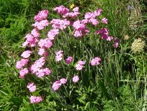 Beautiful pink flower in the french alps mountain. royalty free stock photography