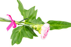 Beautiful pink flower with fresh green leaf tied  by pink ribbin Stock Photography