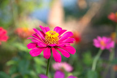 Beautiful pink flower. In the garden Stock Image