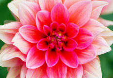 Beautiful pink flower. The beautiful pink flower in a garden Stock Photo