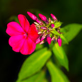 Beautiful pink flower. In the garden Stock Photos