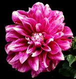 Beautiful pink flower. In the garden Royalty Free Stock Photos