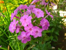 Beautiful pink flower in a garden Royalty Free Stock Photography
