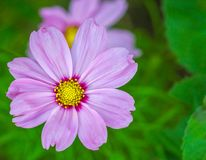 Beautiful pink flower in the garden. Royalty Free Stock Photos