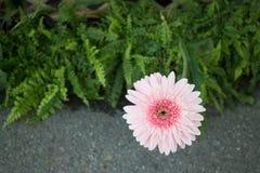 Beautiful pink flower gerbera close-up Stock Photo