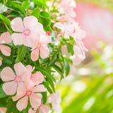 Beautiful pink flower hanging in garden Royalty Free Stock Image