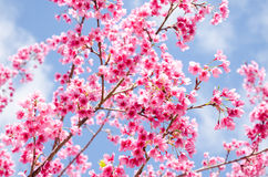 Beautiful Pink Flower Of Sakura With Blue Sky Royalty Free Stock Photos