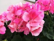 Beautiful Pink flower outdoor nature royalty free stock images