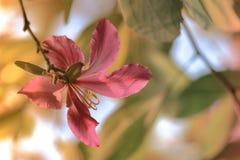 Beautiful pink flower:Phanera purpureaorchid tree,Hong Kong orchid tree,purple bauhinia,camel`s foot,butterfly tree,Hawaiian orch. Phanera purpurea is a species royalty free stock photo