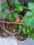 Beautiful Pink flower in pot royalty free stock photos