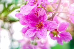 Beautiful pink flower Queen& x27;s Crape Myrtle or Queen's flower. Soft focus background stock images