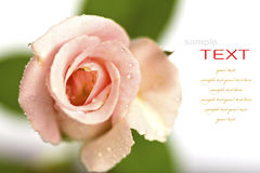 Beautiful pink flower (Rose)  Stock Images