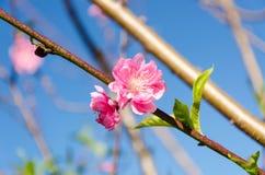 Beautiful pink flower of Sakura and blue sky Stock Image