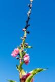 Beautiful pink flower of Sakura and blue sky Stock Images