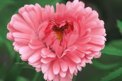 Beautiful pink flower in the shape of a heart to congratulate your loved ones on Valentine`s day royalty free stock photography