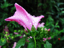 Beautiful pink flower after summer rain. royalty free stock photos