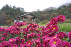 Beautiful pink flower with traiditional Japanese house at Shirak Stock Photos