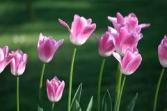 Beautiful pink flower tulips lit by sunlight. Soft selective focus. Close up. Background of spring flower tulips. Turkey royalty free stock photos