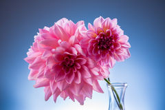 Beautiful pink flower. In vase Royalty Free Stock Photography