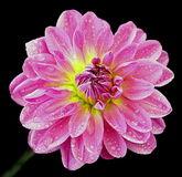Beautiful pink flower. With waterdrops Stock Image