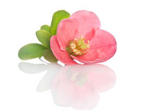 Beautiful pink flower Royalty Free Stock Photos