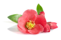 Beautiful pink flower Royalty Free Stock Photo