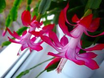 Pink flowers of Christmas cactus on the window royalty free stock photos