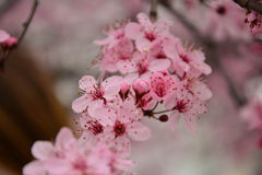 Beautiful pink. Pink flowering trees. Spring mood and wonderful nature Stock Images